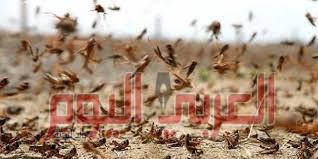 الجراد يهاجم مصر من الحدود السودانيه